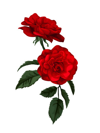red rose: Beautiful rose isolated on white. Red rose.