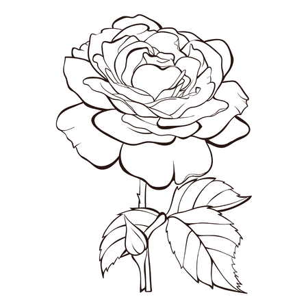 Rose flower vector isolated on white background. Element for design hand-drawn contour lines and strokes. Çizim