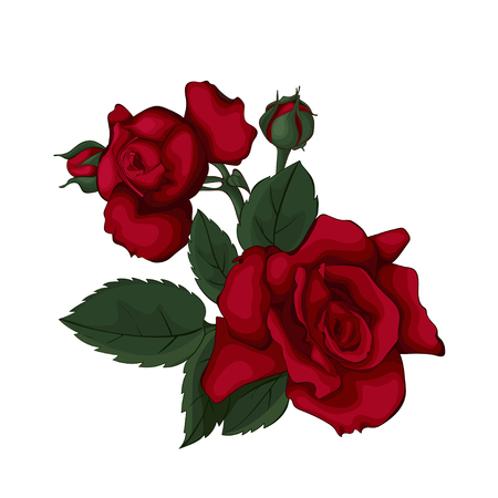 Red roses isolated on white beautiful. Red rose. Perfect for background greeting cards and invitations of the wedding, birthday, Valentine's Day, Mother's Day.