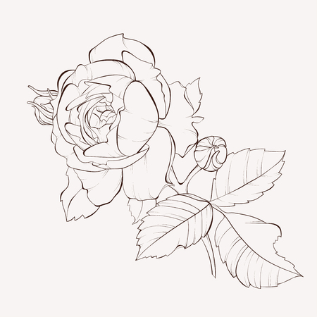 Blossoming rose flowers on white. Vector illustration. Perfect for background greeting cards and invitations of the wedding, birthday, Valentine's Day, Mother's Day.