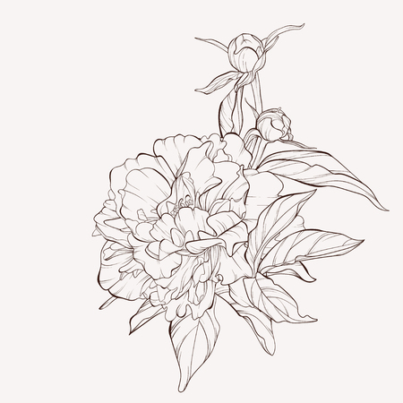 Vector peony flower isolated on white background. Element for design. Hand-drawn contour lines and strokes. Ilustração