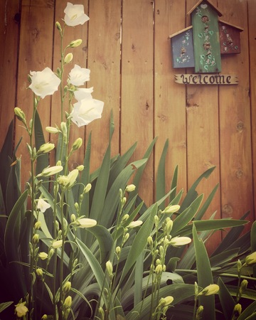 lotus effect: Closeup of blooming white flowers and tall leaves with wooden bird house sign on fence in background.