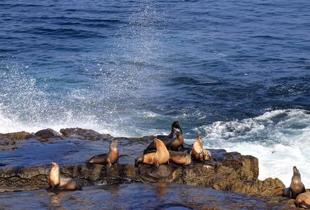 Sea Lions swimming, wading and lying in the sun in La Jolla, California (near San Diego).
