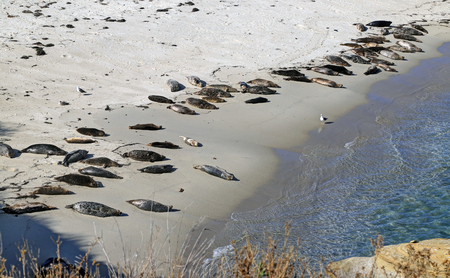 Sea Lions swimming, wading and lying in the sun in La Jolla, California (near San Diego).