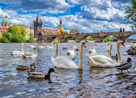 A view of Old Town Prague and the Charles Bridge across the Vltava River filled with swans in Prague, Czech Republic.