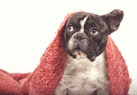 frenchie: Bulldog dog Frenc ? ? s Stock Photo