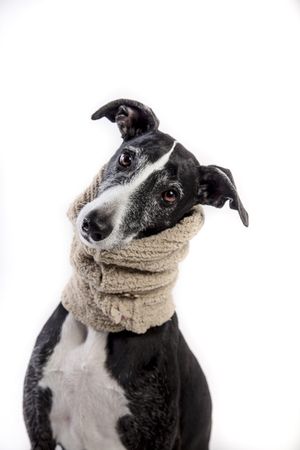 Portrait of an adorable greyhound on white background Фото со стока