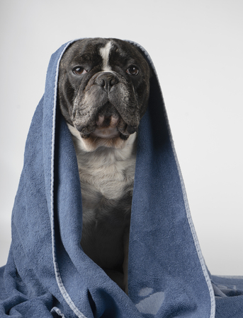 French bulldog with a towel on top of his head in front of a white background
