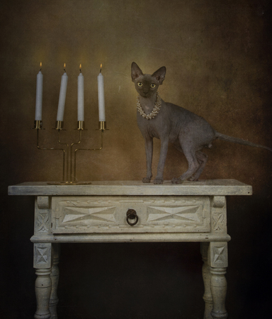 Portrait of sphynx breed cat with pearl necklace raised on a small table