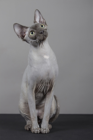 Portrait of sphynx breed with yellow eyes with curious look