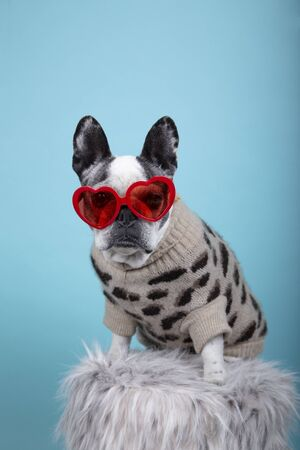 French bulldog breed dog with red heart glasses and dress looking towards camera on blue background Isolated image. Valentines day concept.