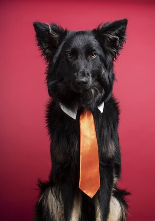 Adorable portrait of a young black Border Collie posing with shirt collar and orange tie on burgundy red background.