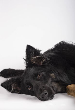 Portrait of beautiful mixed breed Border Collie bitch lying on its side looking towards camera. Vertical image.