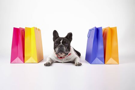 French bulldog lying down looking at camera on white background with shopping and sale bags in the mall, isolated image.