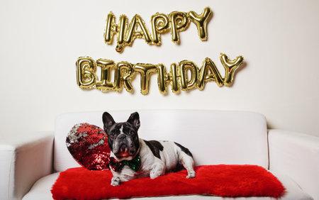 French bulldog lying on the sofa with happy Birthday balloons. Birthday dog