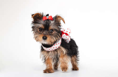 Yorkshire Terrier puppy with dress, 3 months old, isolated on white
