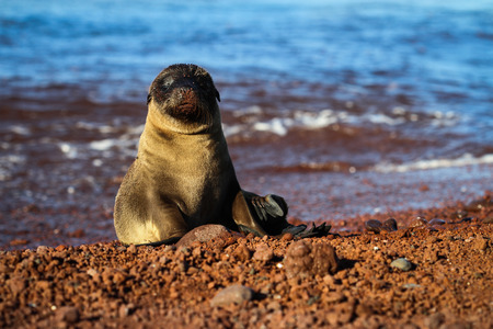 This Galapagos sea lion pup sits on the divide between red and blue   After a day of lounging, there is some residue sand left on his little nose  photo