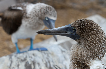 boobies: This mother and father blue-footed booby cross beacks while perched over their baby chick, their heads forming a vague outline of a heart