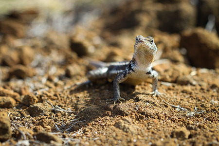 standoff: A Galapagos lava lizard challenges me to a standoff as I quickly take his courageous picture  Stock Photo