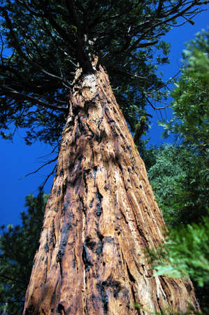 Tall tree in Kings Canyon National Park Imagens