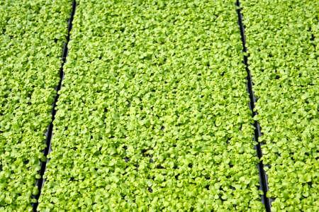 Rows of seedlings in a nursery