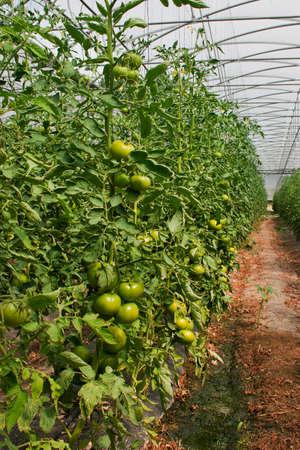 Planta��o de tomate em estufa