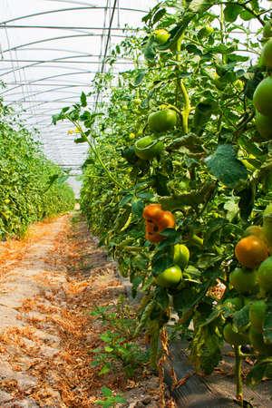 Planta de tomate em estufa Imagens