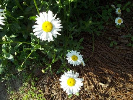 daisys: Three white daisys