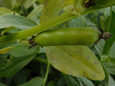 closeup of broad beans plant in bloom