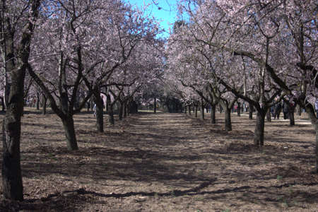 announcing: almond trees announcing spring