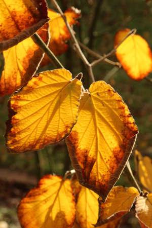 Leaves in autumn light Stock Photo