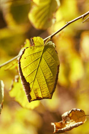 nervure: A leave in autumn light Stock Photo