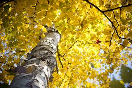 Autumn Birch Tree Stock Photo