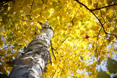Autumn Birch Tree 스톡 콘텐츠