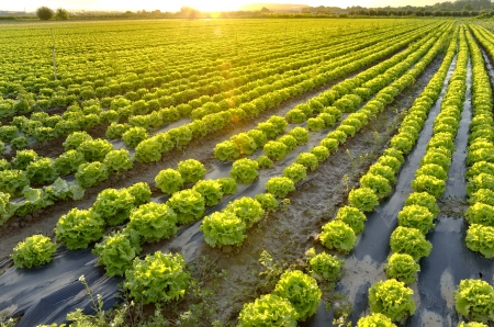 Sunset on lettuce growing field  Vegetable garden in the countryside   photo