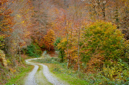 road autumnal: Road and trees in autumnal forest  Stock Photo