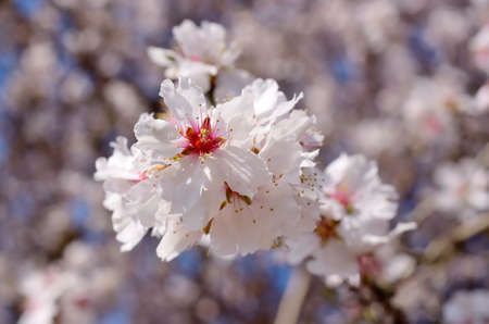 Closeup of an almond blossom in spring.