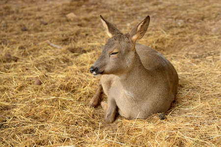 inhabits: The roe deer  Capreolus capreolus , is a type of small deer that inhabits western Europe and northern China
