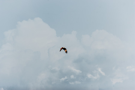 soaring: Alone sea hawk soaring in the sky. Stock Photo