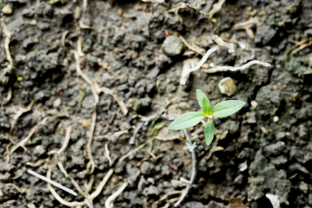 black soil: Texture of black soil with plant sprout and tree roots. Stock Photo