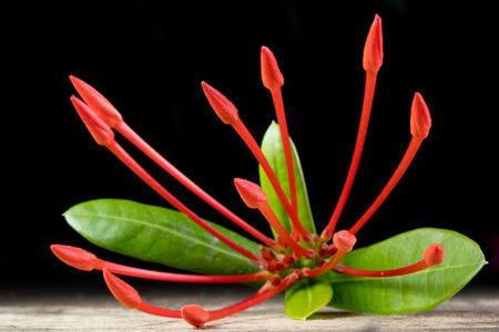 Ixora flower with leaves isolate in black. Stock Photo