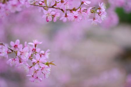 Close up and selective focus of pink Himalayan Sakura flower.