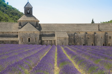 lavande: Abbey of Senanque and blooming rows lavender flowers.