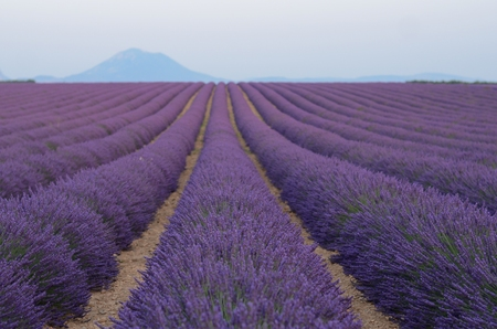 lavande: Lavender flower blooming, endless lavender rows in Provance Stock Photo