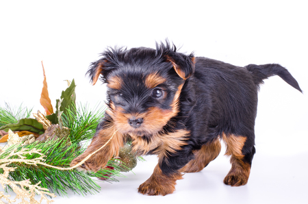 2 months: Yorkshire Terrier puppy sitting with Christmas wreath and decor, 2 months old, isolated on white. New year dog. Stock Photo