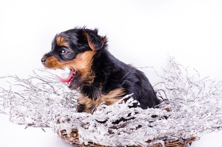 2 months: Yorkshire Terrier puppy sitting anw jawning with Christmas snowy wreath and decor, 2 months old, isolated on white. New year dog. Stock Photo