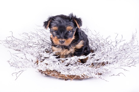2 months: Yorkshire Terrier puppy sitting with Christmas snowy wreath and decor, 2 months old, isolated on white. New year dog. Stock Photo