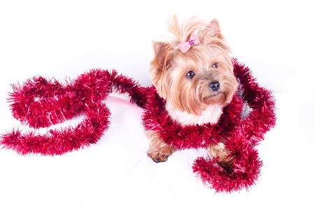 2 months: Yorkshire Terrier puppy sitting with Christmas balls and decor, 2 months old, isolated on white. New year dog. Stock Photo