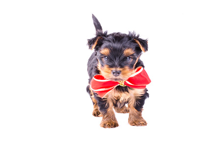 2 months: Yorkshire Terrier puppy with red bow-knot isolated on white background, 2 months old. Dog as present, gift