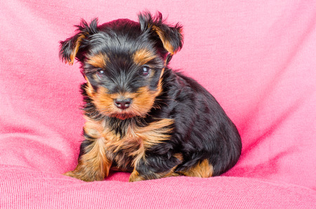 2 months: Cute yorkshire terrier puppy sitting on pink background, 2 months old.